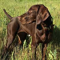 front-range-gun-dog-sells-collars